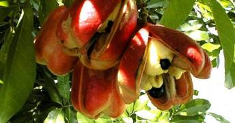 ackee-jamaica-national-fruit-1-1